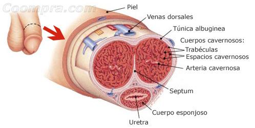 Anatomía interior del pene